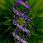 Cannabis DNA: Mapping the Genome
