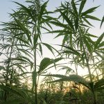 USDA Releases Draft Hemp Regulations for Public Comment